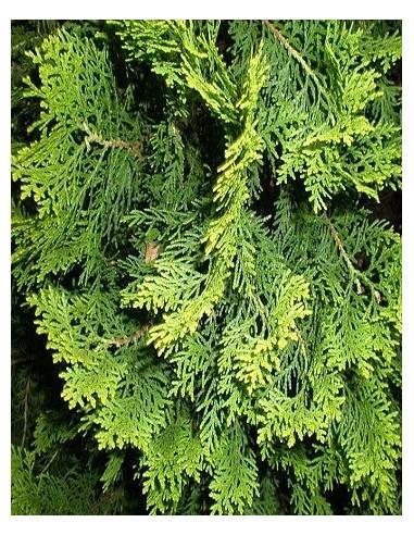 Cypress - Cipres (Cupressus sempervirens) Aceite 3,7 ml FES