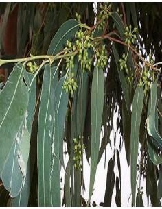 Eucalyptus (Eucalyptus globulus) Aceite 3,7 ml FES