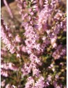 Heather (Calluna vulgaris)10 ml - El Jardi de Les Essencies