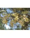 Olive (Olea europaea)10 ml - El Jardi de Les Essencies